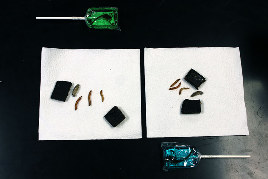 Students were able to try larvae, crickets, scorpion lollipops and cricket flour protein bars from Peffley's