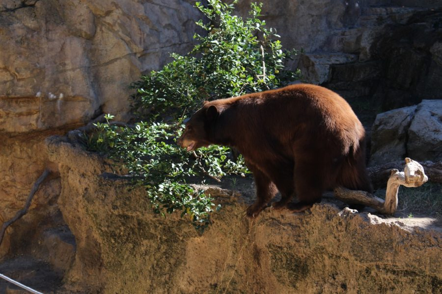 A bear balances himself precariously on the edge of a cliff as a part of his routine to keep busy. He would saunter over the log in his path, get as close as possible to the ledge, lift his paw, stop, turn around and do it all over again.