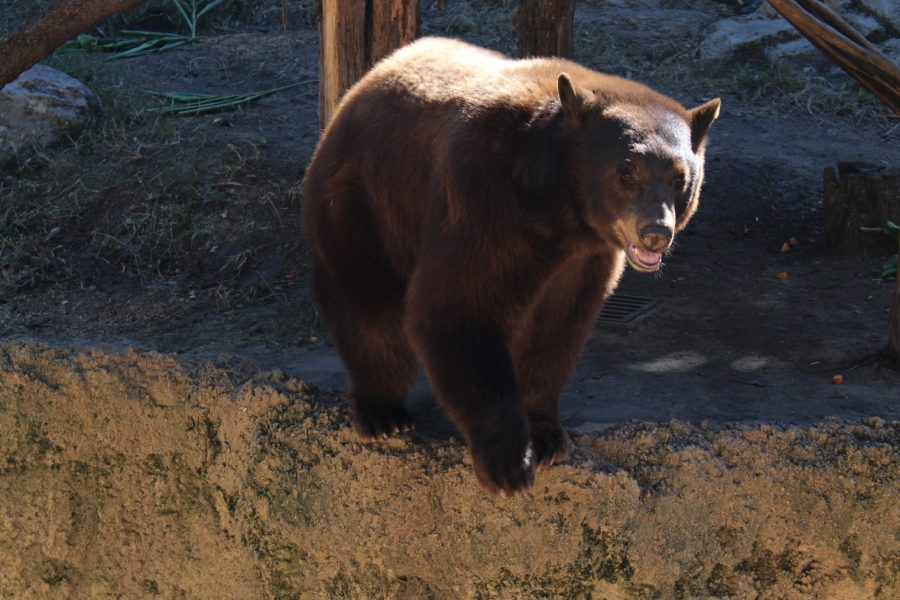 The bear in a different part of his routine, makes the same gestures. He walked to the opposite side of his enclosure, and got as close to the edge as possible, then tested the air.  ARB is usually treated by placing toys or other ways for the animals to distract themselves. Though the bear enclosure had an elaborate obstacle course and a ball, this bear still showed signs of ARB.