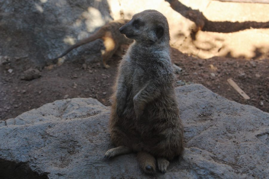 A slightly overweight meerkat perches uncomfortably on its tail for an unnatural amount of time, showcasing a symptom of ARB. Meerkats are a social mammal and generally live with a bigger colony. In giving them their social needs, the zoo also made their living situation more cramped with the larger amount of animals.
